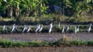 Asian openbills and white cranes in the paddy field video