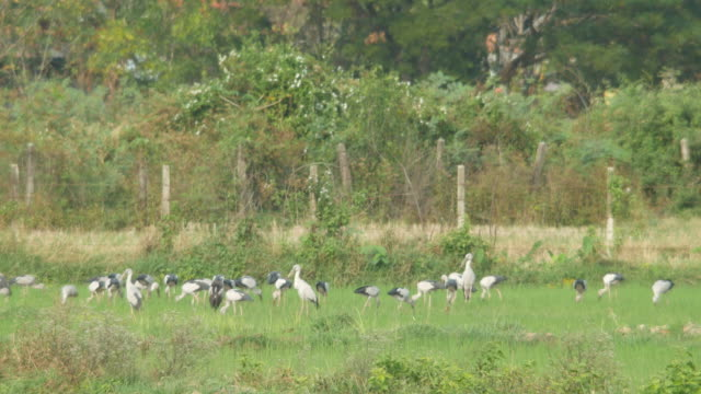 Asian openbills birds eating in the paddy field video