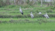 Asian openbills birds standing in the paddy field video