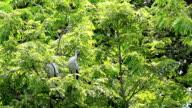 Asian Openbills Stork Resting on the Tree video
