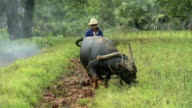 Asian paddy farmer plowing the rice fields the traditional way by his buffalo in preparation for the rainy season video