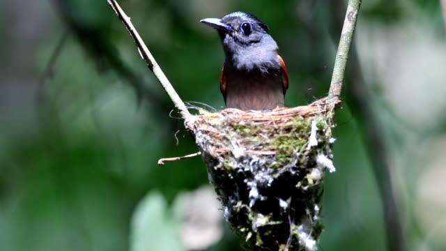 Asian Paradise Flycatcher incubating egg video