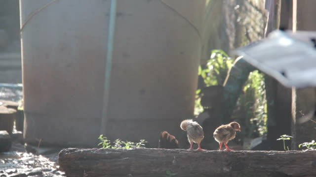 Asian small chickens stand on sunrise video