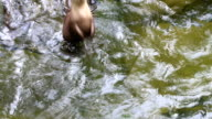 Asian small-clawed otter (Aonyx cinerea) video