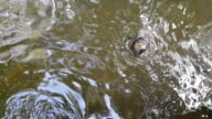 Asian small-clawed otter video