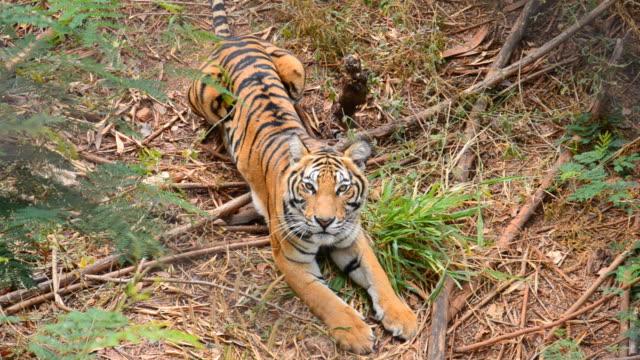 Asian Tiger video
