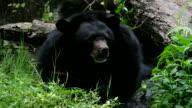 Asiatic Black Bear video