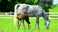 asil arabian horse - mare and newborn foal video