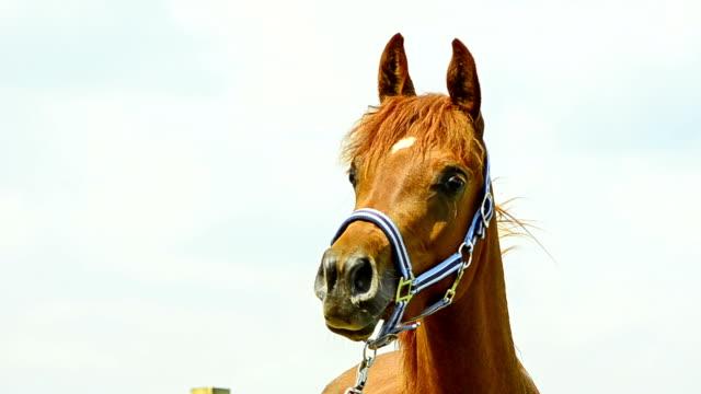 Asil Arabian mare portrait video