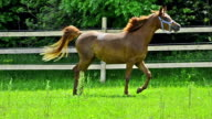 Asil Arabian mare trotting and galloping on pasture video