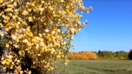 Aspen branches shaking from wind against of the blue sky in the fall video