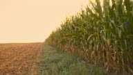 At the edge of the corn field video