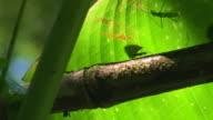 Atta ants working under pressure!! video