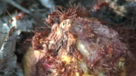 Atta worker ants video