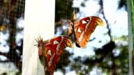Attacus atlas  moth,full HD video