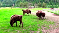 Aurochs Is Grazing In The Forest In The Wildlife,and fight video