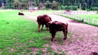 Aurochs Is Grazing In The Rezervation video