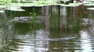 Australasian Grebe Tachybaptus novaehollandiae Swimming Among Water Grasses video