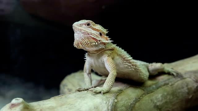Australian dragon lizard video