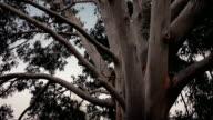 Australian Eucalyptus Tree In Storm video