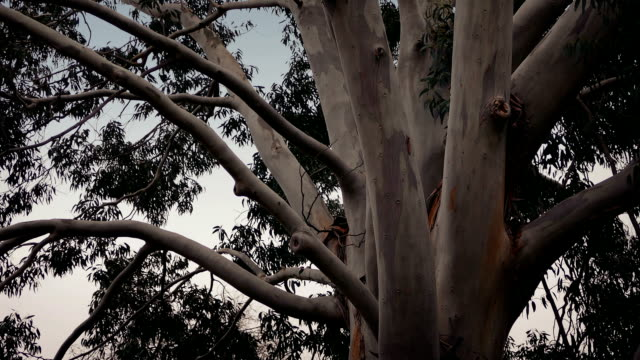 Australian Eucalyptus Tree In Storm video