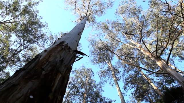 Australian Gum Tree HD video