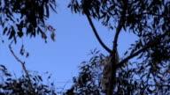 Australian Koala Phascolarctos cinereus Climbing a Eucalyptus Gum Tree video