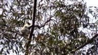 Australian Koala Phascolarctos cinereus in Eucalyptus Gum Tree Sleeping video