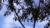 Australian Koala Phascolarctos cinereus in Eucalyptus Tree Climbing and Feeding video
