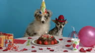 Australian Shepherd and  Chihuahua sitting at their birthday table video