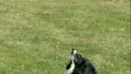 Australian Shepherd Catching Frisbee in Slow Motion video