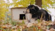 Australian Shepherd is around his booth. Home guard video
