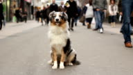 Australian shepherd sitting in a crowded street video