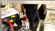 Automatic Cow milking machine and scanner - DOLLY motion video