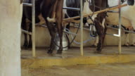 Automatic milking system industry cow farm video