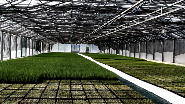 Automatic watering of plants (pine trees) in the greenhouse video