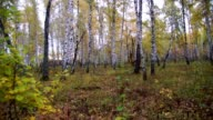Autumn birch forest, panorama video