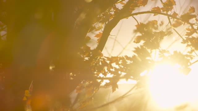 Autumn Breeze Through a Maple Tree video