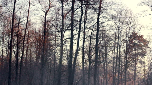 Autumn forest. Dark tree trunks. Cold weather. Gloomy forest in winter video