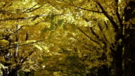 Autumn: Ginkgo leaves fall as if rain video