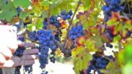 Autumn grape harvest video