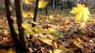 Autumn leafs. video