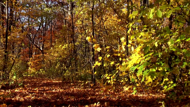 Autumn Leaves Blowing in Michigan Forest video