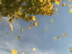 Autumn Leaves Falling 1 video