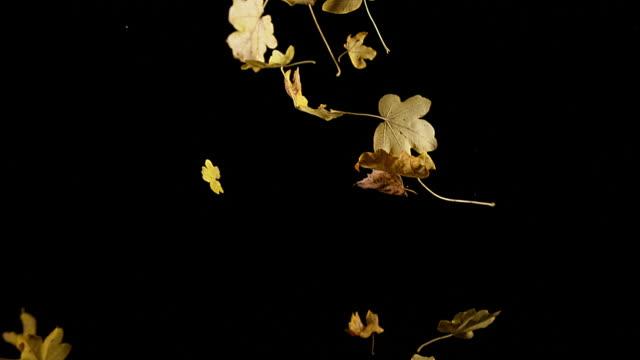 Autumn Leaves falling against Black Background, Slow motion 4K video