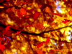 Autumn leaves falling (seamless loop) (NTSC) video