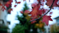 autumn leaves hanging on the mapple tree video