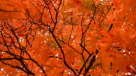 Autumn leaves on the tree Bacground video