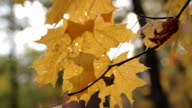 Autumn leaves on the wind  blur forest background video