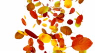 Autumn leaves on white background video